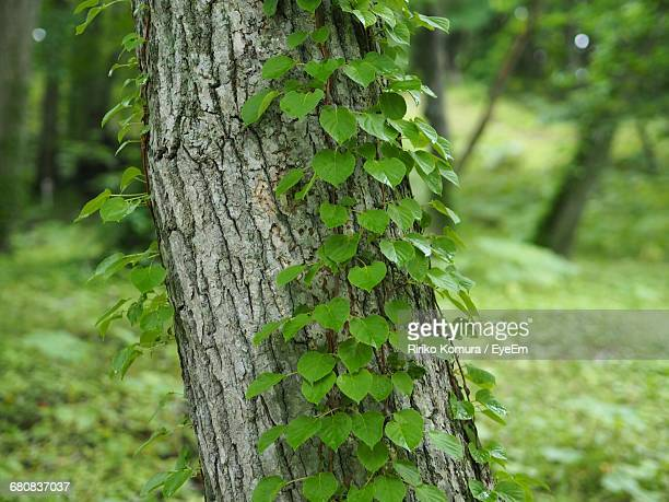Ivy Plant Growing On Tree Trunk