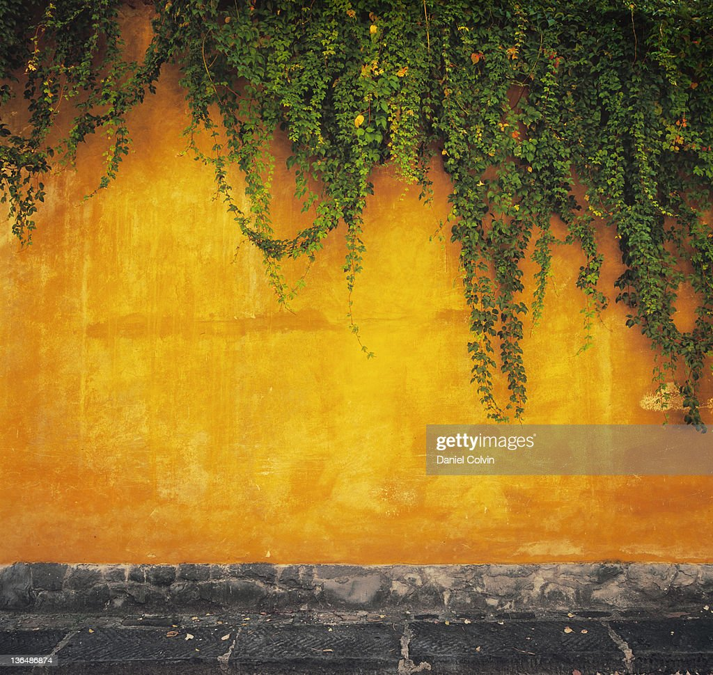 Ivy plant on wall : Stock Photo