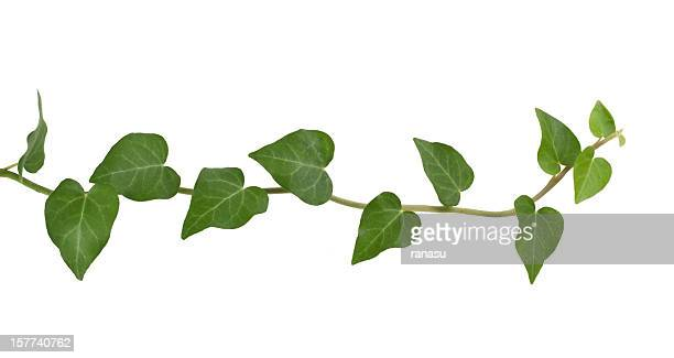 ivy plant. - lush stock pictures, royalty-free photos & images