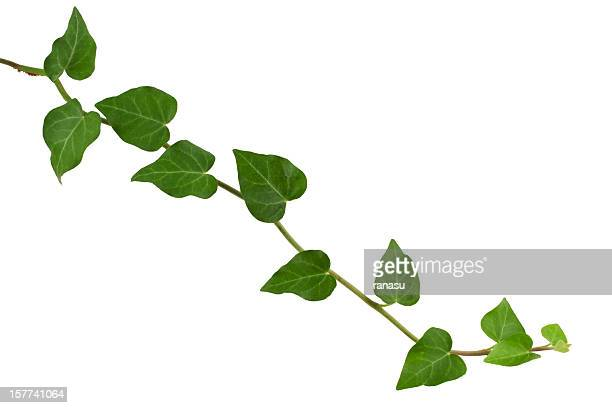 Efeu Pflanzen,