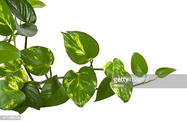 ivy plant,