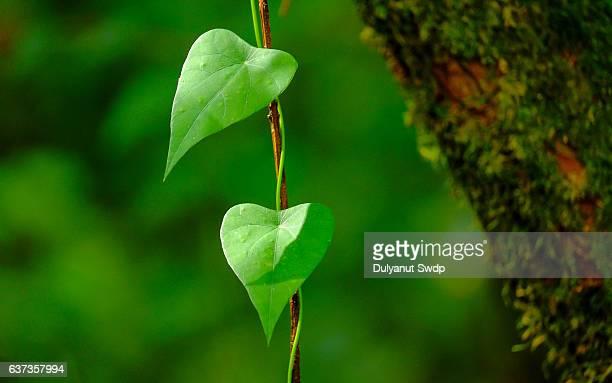Ivy Plants Growing On Tree.