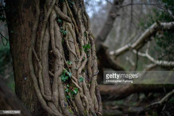 Ivy roots cling to the trunk of a tree at Moseley Bog believed to be the inspiration for Tolkien's ancient forests in his books The Lord of the Rings...