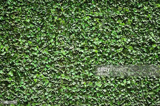 Ivy Struktur