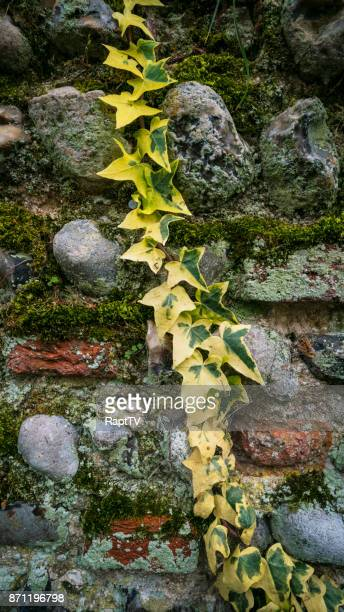 ivy trailing down an ancient flint stone and brick wall. - chert stock photos and pictures