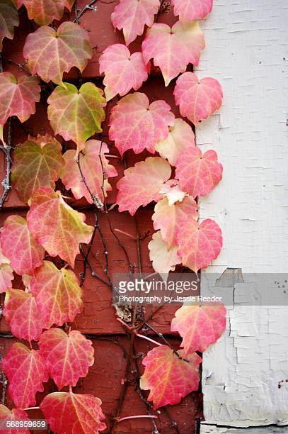 Ivy turned red in autumn
