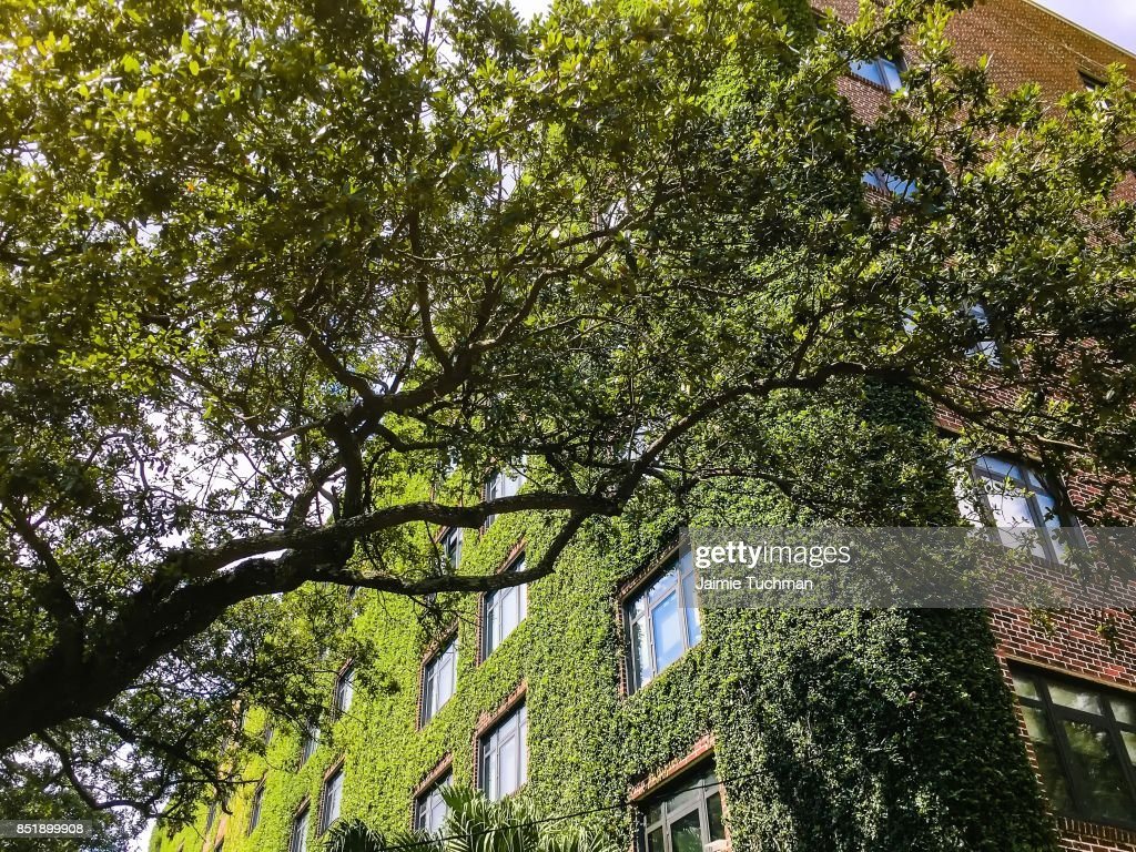 Ivy Walls On A Tall Brick Apartment Building : Stock Photo