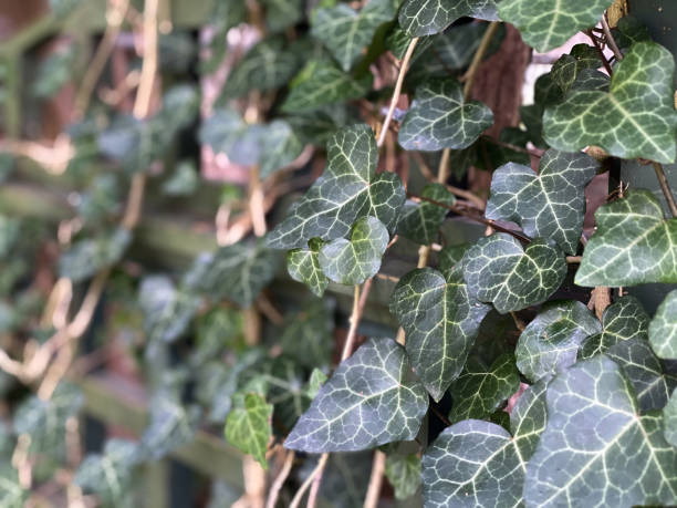 ivy-covered lattice fence in garden
