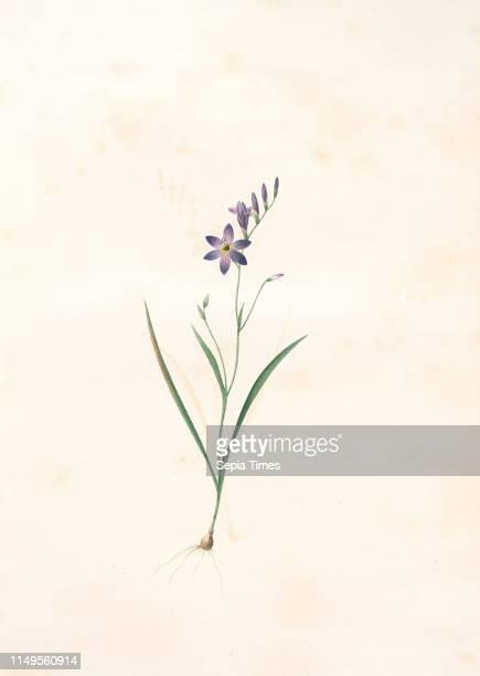 Ixia secunda, Ixia unilaterale , Corn Lily; Wand Lily, Redoute, Pierre Joseph, 1759-1840, les liliacees, 1802 - 1816