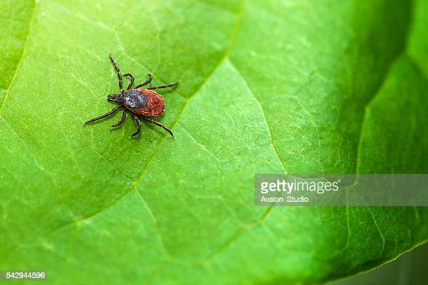 ixodes ricinus - pathogen stock photos and pictures