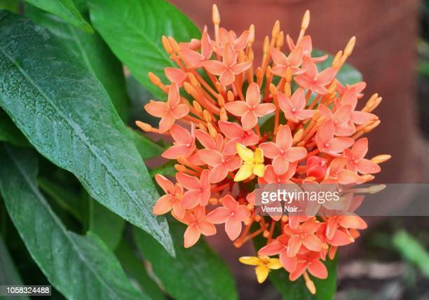 Ixora coccinea flowers in the garden
