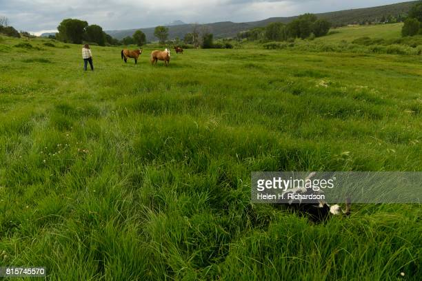 Izzy a Border Collie belonging to rancher Susan Nottingham in the distance enjoys rolling in the lush pastures at Nottingham Ranch on July 11 2017 in...