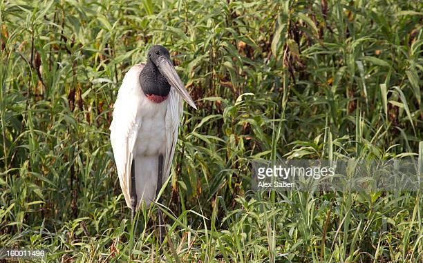 a jabiru, a large stork found in the americas from mexico to argentina. - alex saberi stock-fotos und bilder