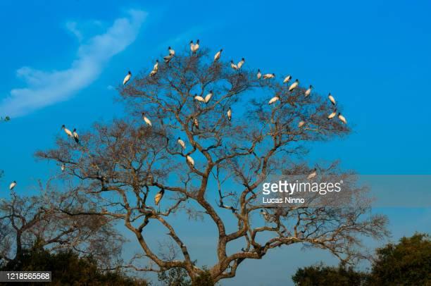 jabiru (jaburu or tuiuiú) group in a tree at pantanal wetlands - pantanal stockfoto's en -beelden