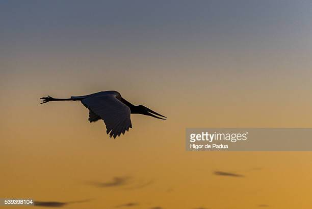 jabiru stork, a beautiful and giant bird flying in a sunset in pantanal - animal selvagem stock pictures, royalty-free photos & images