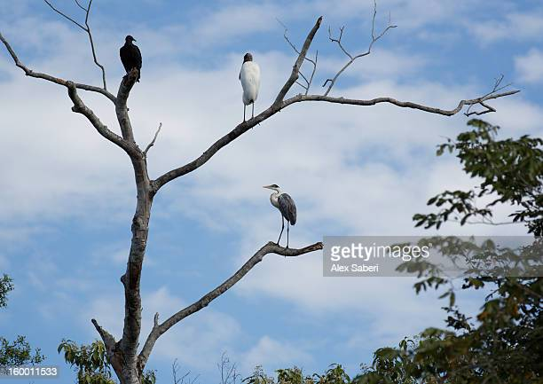 jabiru storks and a heron perching on a tree. - alex saberi stock pictures, royalty-free photos & images