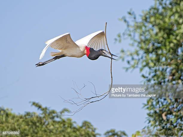 jabiru transporting twig - pantanal stockfoto's en -beelden