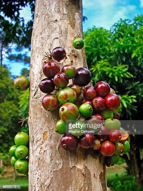 Jabuticaba or Brazilian grapetree fruits