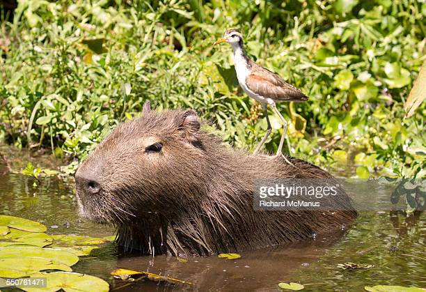 Jacana on Capybara.