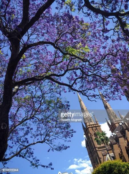 Jacanda ftrees flowering outside Sydney's neo Gothic, sandstone Catholic cathedral.