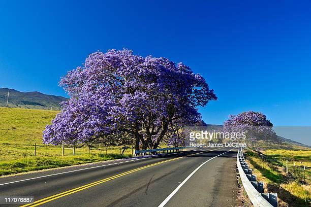 Jacanda tree blooms