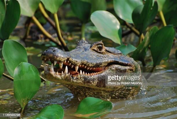 jacaré (caiman) in the pantanal, brazil - pantanal wetlands stock pictures, royalty-free photos & images