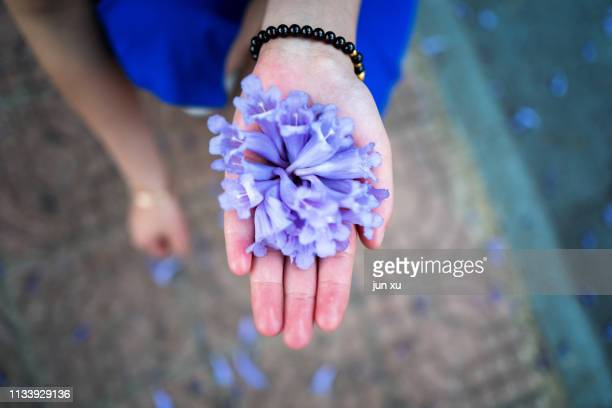 jacaranda flowers in his hands - jacaranda tree stock pictures, royalty-free photos & images