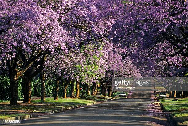 jacaranda in blossom, pretoria, south africa, africa - jacaranda tree stock pictures, royalty-free photos & images