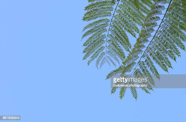 jacaranda leaf - jacaranda ストックフォトと画像