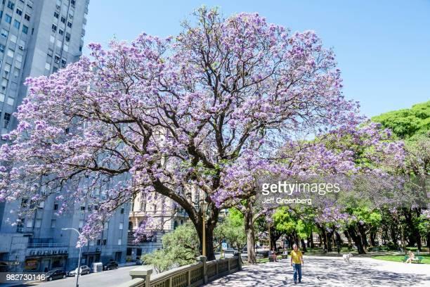 A Jacaranda mimosifolia subtropical tree at Plaza San Martin park