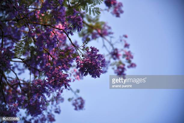Jacaranda mimosifolia trees in full bloom