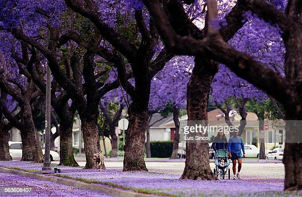 Jacaranda tees burst with purple blossoms along Studebaker Road in Long Beach where a family takes a morning stroll