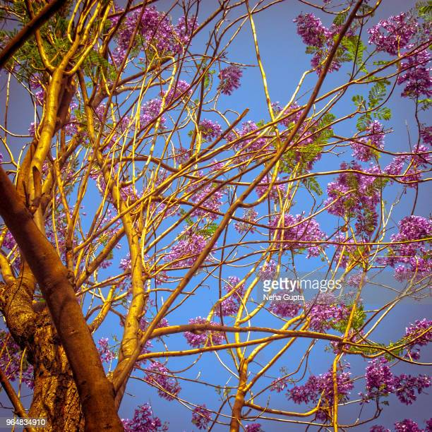 Jacaranda Tree - Canopy