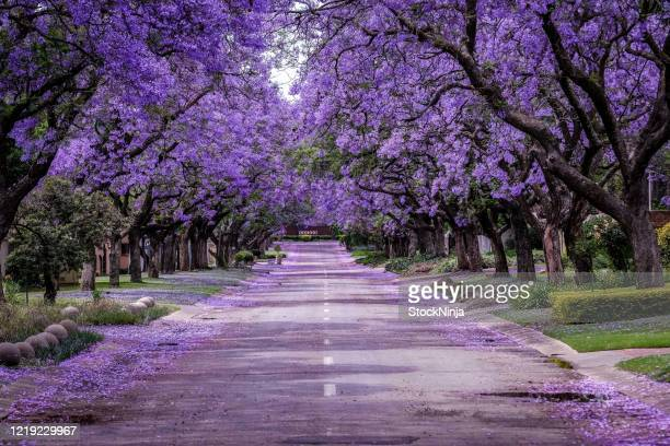 jacaranda tree in full bloom - beauty in nature stock pictures, royalty-free photos & images