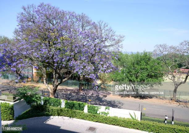 a jacaranda tree in johannesburg.  johannesburg south africa. - gauteng province stock pictures, royalty-free photos & images