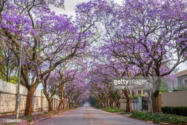 ザクセンウォルドのジャカランダの並木通り - jacaranda ストックフォトと画像
