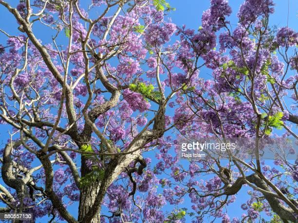 jacaranda tree - jacaranda ストックフォトと画像
