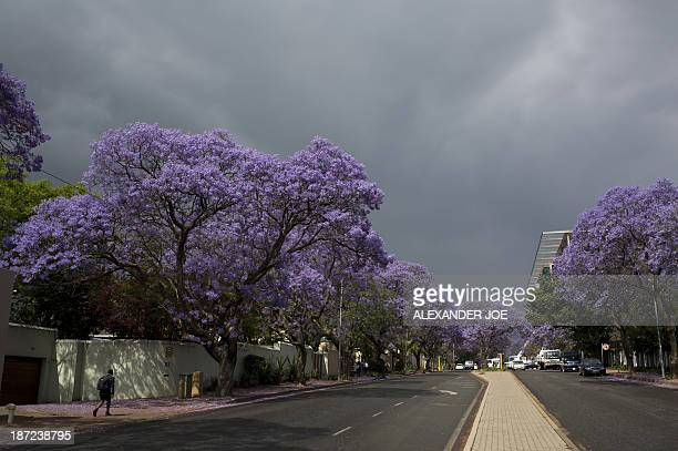 Jacaranda trees blossom in street of Johannesburg on November 7 2013 Pretoria faces a future without its famed jacaranda trees as a deadly fungus...