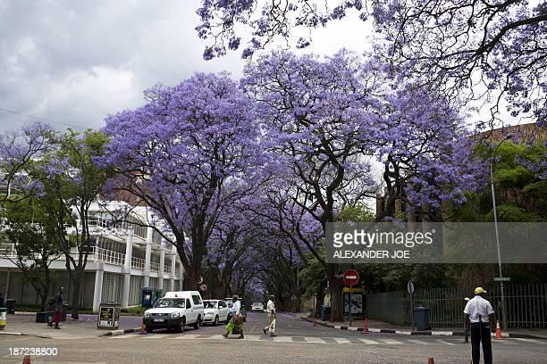 Jacaranda trees blossom in street of Johannesburg on November 7 2013 Pretoria faces a future without its famed jacaranda trees as a deadly fungus...