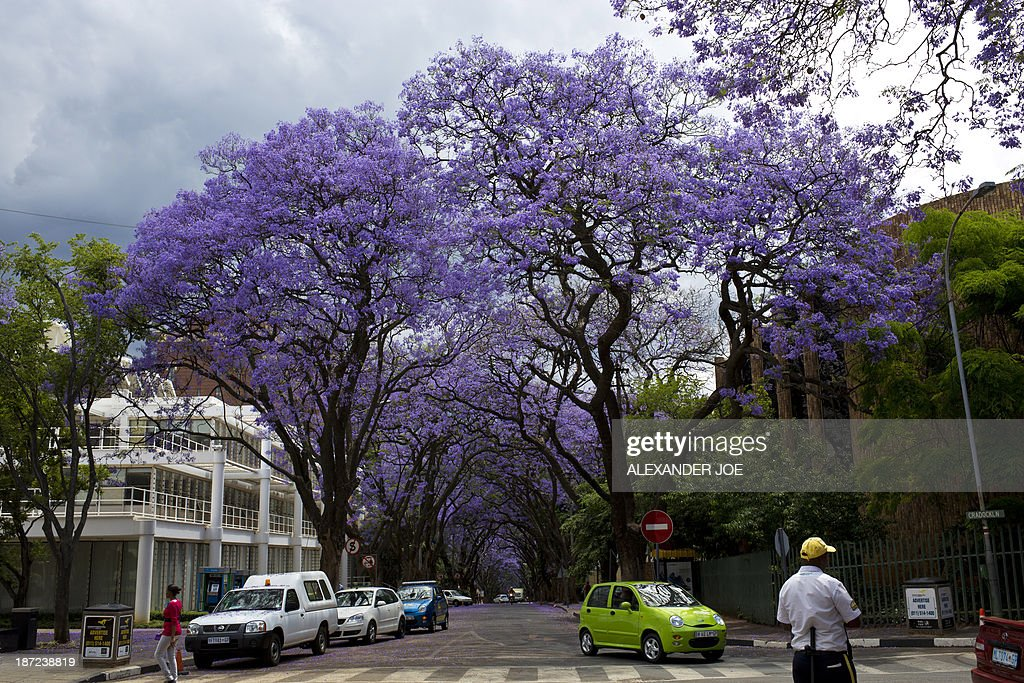 SAFRICA-JACARANDAS-DISEASE : News Photo