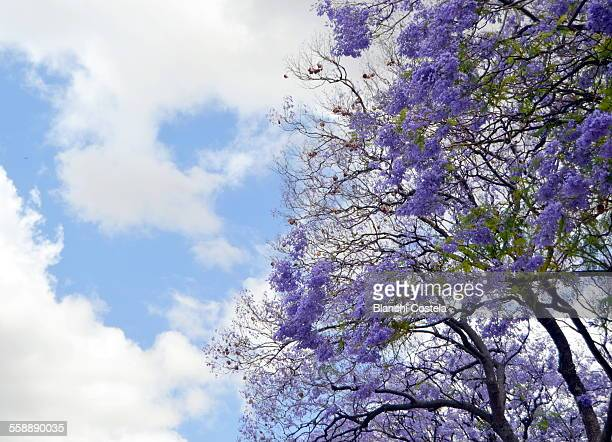 Jacaranda trees in bloom against blue sky