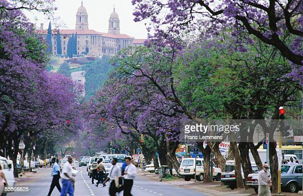 Jacaranda trees in bloom, city street.