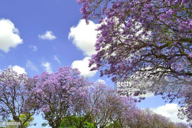 jacaranda trees in bloom in spring - jacaranda tree stock pictures, royalty-free photos & images