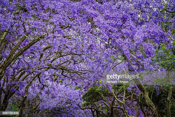 Jacaranda trees in full bloom
