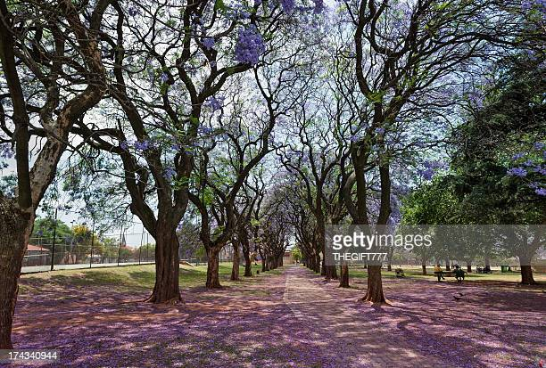 Jacaranda trees in the park