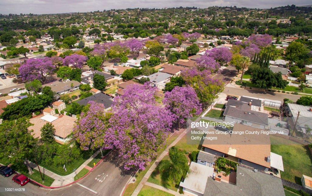 Jacaranda Trees Line The 1000 Blocks Of North Mountain View Place
