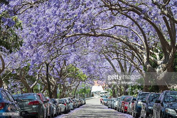 Jacaranda trees on McDougall Street in the north Sydney suburb of Kirribilli on November 10 2016 in Sydney Australia Jacaranda trees are not native...