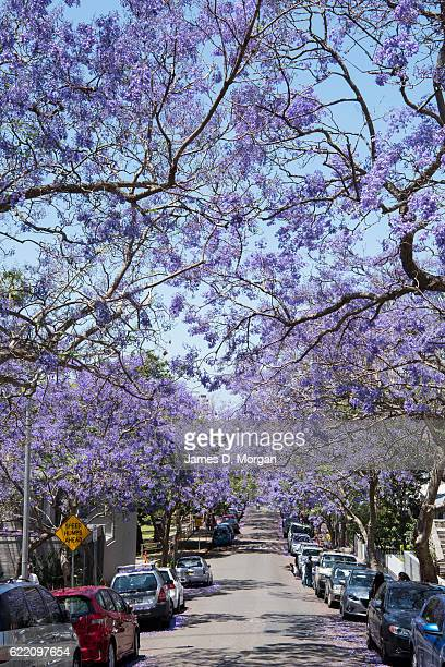 Jacaranda trees on McDougall Street in the north Sydney suburb of Kirribilli on November 10 2016 in Sydney Australia Jacaranda trees are not native...