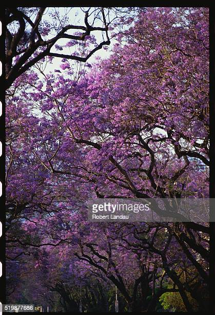 Jacaranda trees