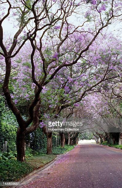 Jacaranda Trees Pretoria Gauteng